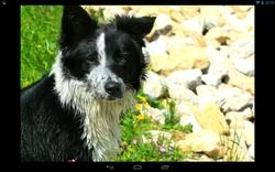 Inca, chien Border Collie