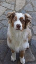 Inca , chien Berger australien