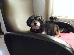 Inca, chien Terrier tibétain