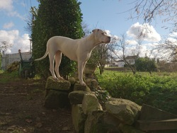 Inca Azteca, chien Dogue argentin