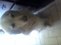 Inca, chien