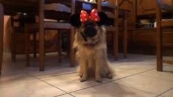 Incinia, chien Spitz finlandais