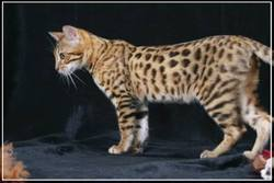 Incitatus Du Chitwan, chat