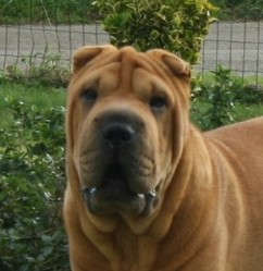 Incroyable, chien Shar Pei