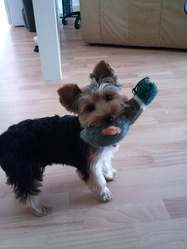 Inddy, chien Yorkshire Terrier