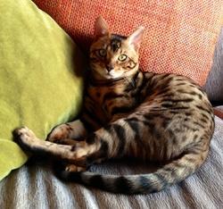 Indhy De La Grande Équinoxe , chat Bengal