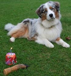 Indhy, chien Berger australien
