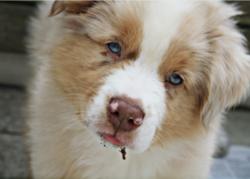 Indi, chien Berger australien