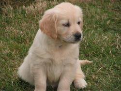 Indi, chien Golden Retriever