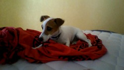 Indi, chien Jack Russell Terrier