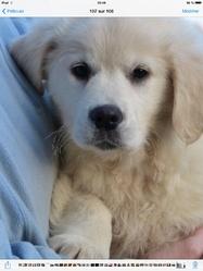 Indi, chien Golden Retriever