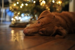 Ingo, chien Retriever de la Nouvelle-Écosse