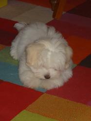 India, chien Coton de Tuléar