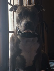 India, chien American Staffordshire Terrier