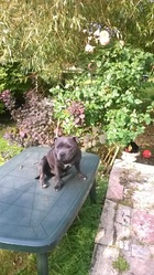 India, chien Staffordshire Bull Terrier