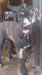 India De Genevayse, chien Cane Corso