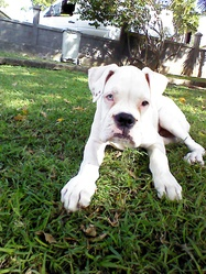 Indiana, chien Boxer