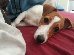 Indiana, chien Jack Russell Terrier