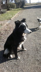 Indiana, chien Border Collie