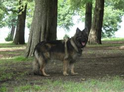 Indiana, chien Berger allemand