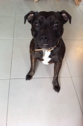 Indiana, chien Staffordshire Bull Terrier
