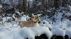 Indiana, chien Labrador Retriever