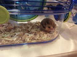 Indiana Jones, rongeur Hamster