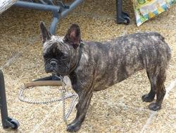 Indie, chien Bouledogue français