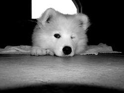 Indie, chien Samoyède