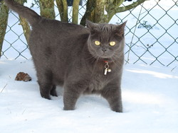 Indie, chat British Shorthair