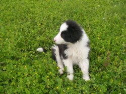 Indie, chien Border Collie