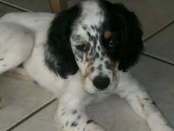 Indie, chien Setter anglais