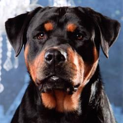 Indigo, chien Rottweiler