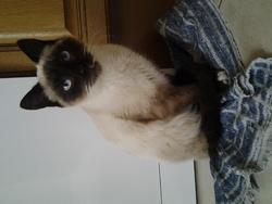 Indigo, chat Siamois