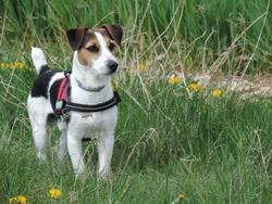 Indigo, chien Jack Russell Terrier