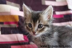 Indigo De La Forêt Verte, chat Angora turc