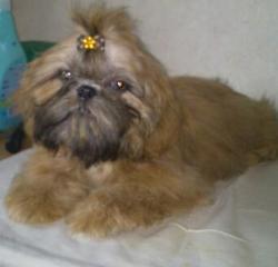 Indira, chien Shih Tzu