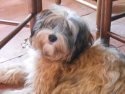 Indira, chien Terrier tibétain