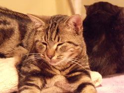 Indira, chat Gouttière