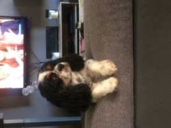 Indra, chien Cavalier King Charles Spaniel