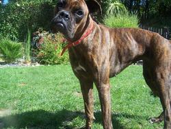 Indra, chien Boxer
