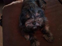 Indra, chien Lhassa Apso