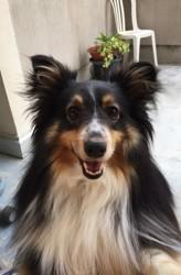 Indra, chien Berger des Shetland