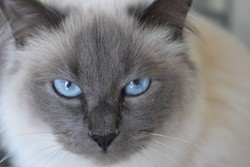 Indra, chat Birman