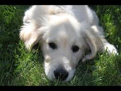 Indra, chien Golden Retriever