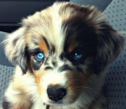 Indra, chien Berger australien