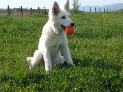 Indra, chien Berger blanc suisse