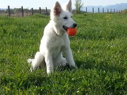 Indra, chien Berger blanc suisse