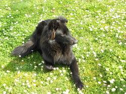 Indra, chien Berger belge