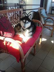 Indy, chien Husky sibérien